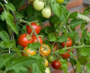 Pestovani rajčat