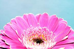 Gerbera v květináči pěstování