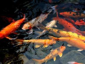 Zahradní jezírko si zaslouží krásné ryby