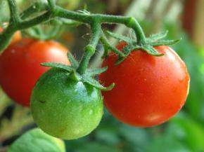 Je čas na setí rajčat!