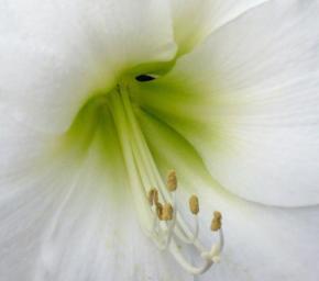 Zazimování lilií
